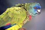 Saint Lucia Parrot.jpg
